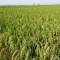 Air limbah di bidang pertanian